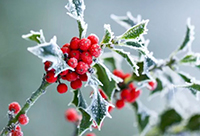winter-berries-200